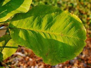 Bigleaf Magnolia