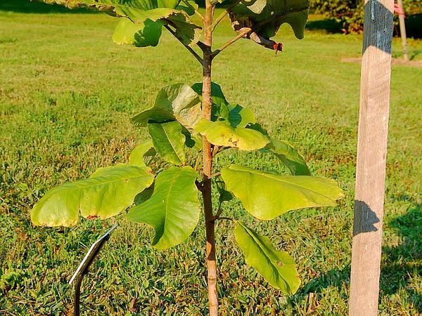 Bigleaf Magnolia (Magnolia Macrophylla) https://www.sagebud.com/bigleaf-magnolia-magnolia-macrophylla/