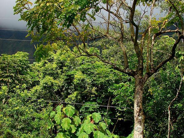 Pengua (Macaranga Mappa) https://www.sagebud.com/pengua-macaranga-mappa/