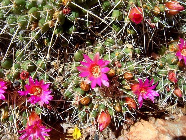 Globe Cactus (Mammillaria) https://www.sagebud.com/globe-cactus-mammillaria/