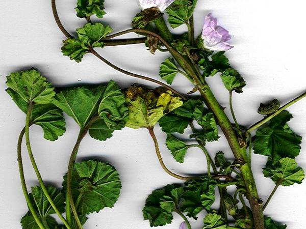 Common Mallow (Malva Neglecta) https://www.sagebud.com/common-mallow-malva-neglecta/