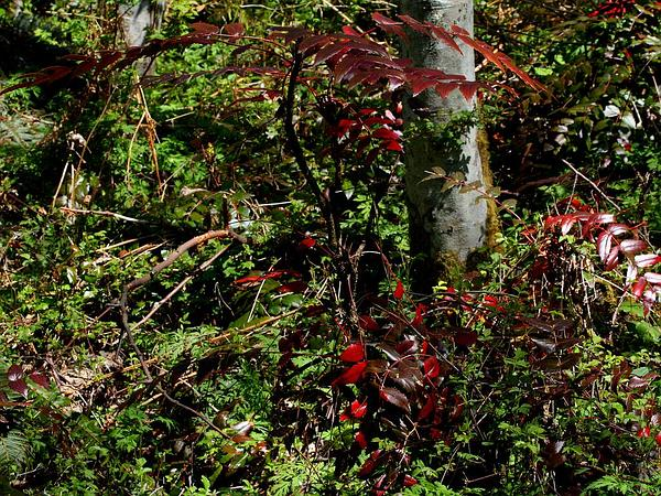 Cascade Barberry (Mahonia Nervosa) https://www.sagebud.com/cascade-barberry-mahonia-nervosa