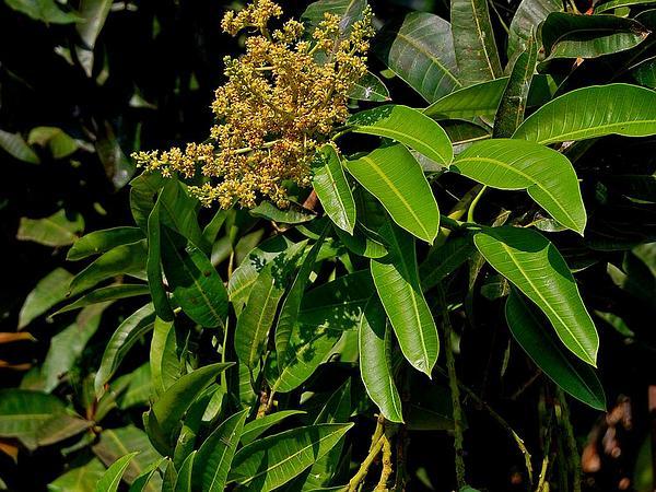 Mango (Mangifera) https://www.sagebud.com/mango-mangifera