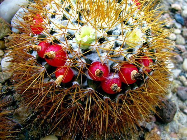 Woolly Nipple Cactus (Mammillaria Nivosa) https://www.sagebud.com/woolly-nipple-cactus-mammillaria-nivosa