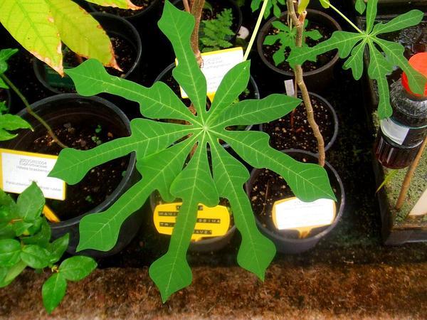 Cassava (Manihot) https://www.sagebud.com/cassava-manihot