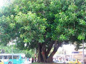Manilkara
