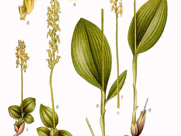 Bog Adder's-Mouth Orchid (Malaxis Paludosa) https://www.sagebud.com/bog-adders-mouth-orchid-malaxis-paludosa