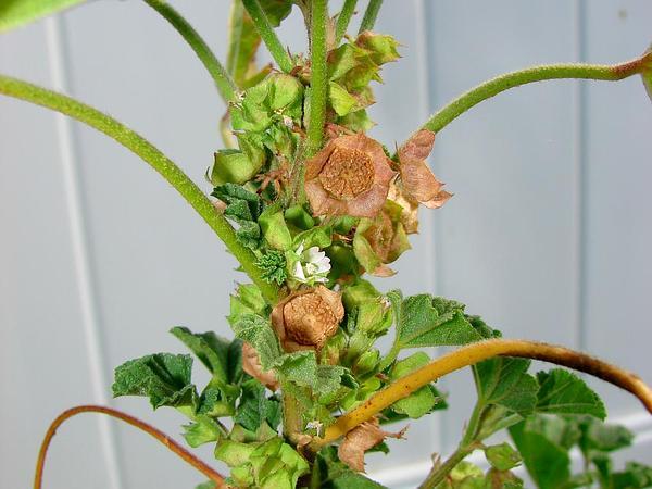 Cheeseweed Mallow (Malva Parviflora) https://www.sagebud.com/cheeseweed-mallow-malva-parviflora