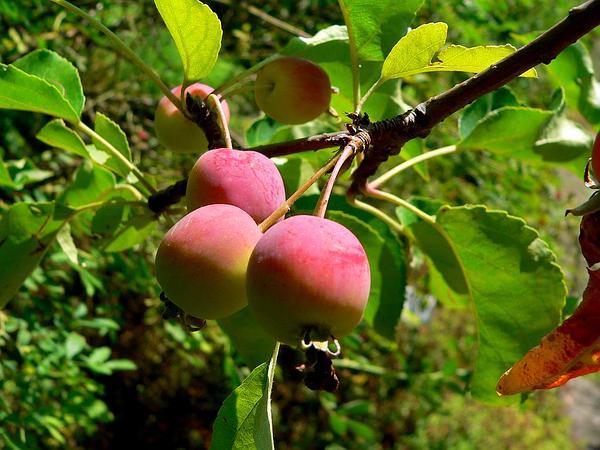 Plumleaf Crab Apple (Malus Prunifolia) https://www.sagebud.com/plumleaf-crab-apple-malus-prunifolia