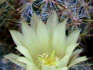 Texas Nipple Cactus