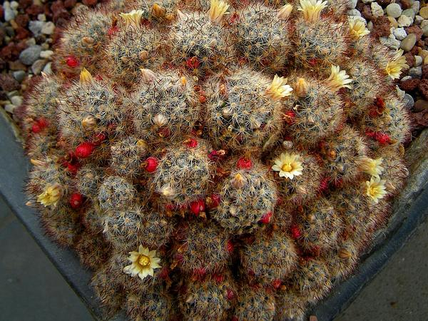 Texas Nipple Cactus (Mammillaria Prolifera) https://www.sagebud.com/texas-nipple-cactus-mammillaria-prolifera