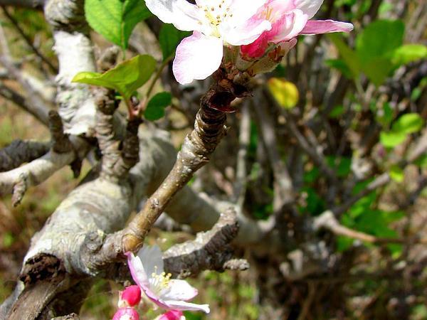 Paradise Apple (Malus Pumila) https://www.sagebud.com/paradise-apple-malus-pumila