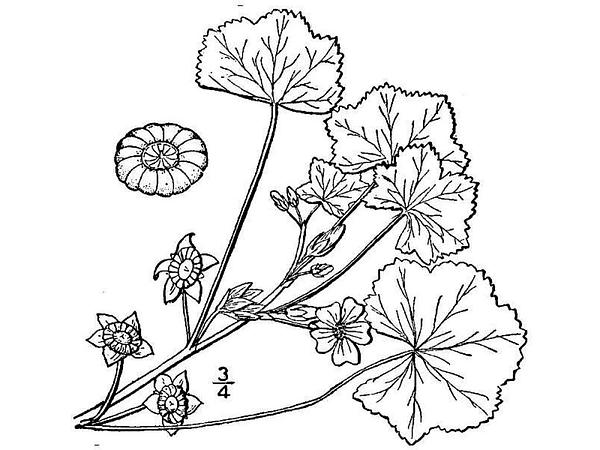 Low Mallow (Malva Pusilla) https://www.sagebud.com/low-mallow-malva-pusilla/
