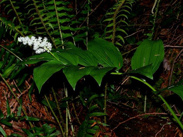Feathery False Lily Of The Valley (Maianthemum Racemosum) https://www.sagebud.com/feathery-false-lily-of-the-valley-maianthemum-racemosum