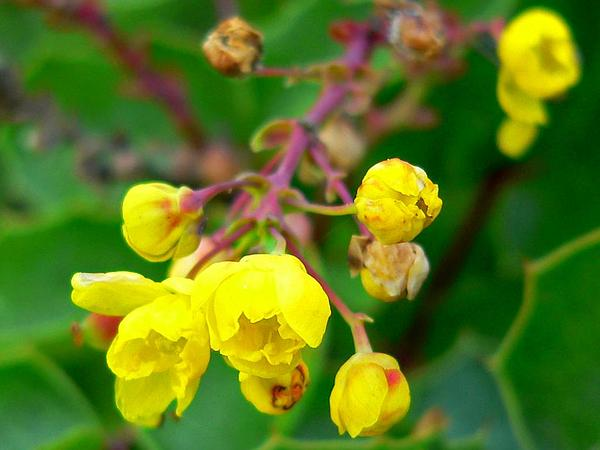 Creeping Barberry (Mahonia Repens) https://www.sagebud.com/creeping-barberry-mahonia-repens/