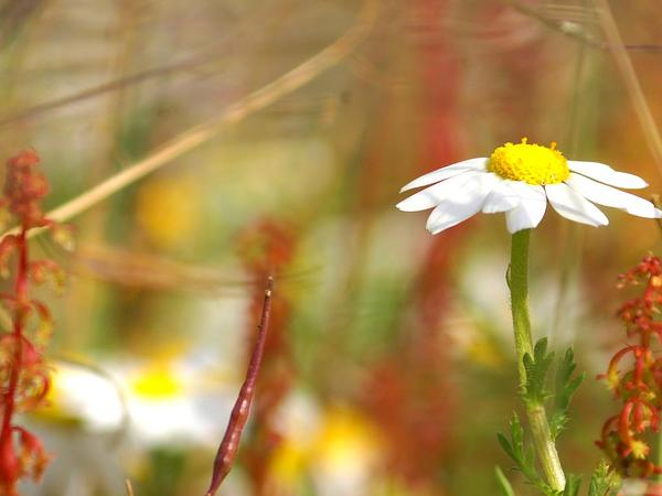 German Chamomile (Matricaria Recutita) https://www.sagebud.com/german-chamomile-matricaria-recutita