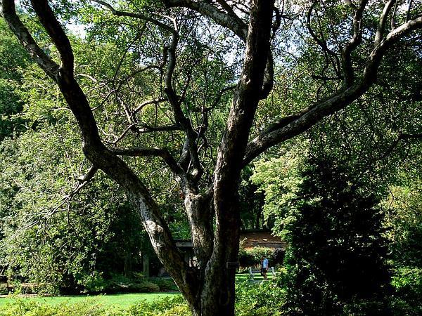 Asiatic Apple (Malus Spectabilis) https://www.sagebud.com/asiatic-apple-malus-spectabilis