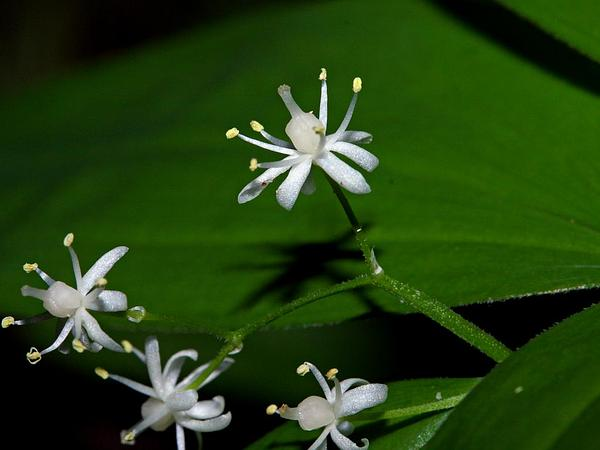 Starry False Lily Of The Valley (Maianthemum Stellatum) https://www.sagebud.com/starry-false-lily-of-the-valley-maianthemum-stellatum