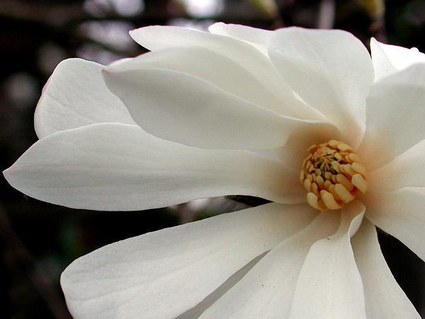Star Magnolia (Magnolia Stellata) https://www.sagebud.com/star-magnolia-magnolia-stellata