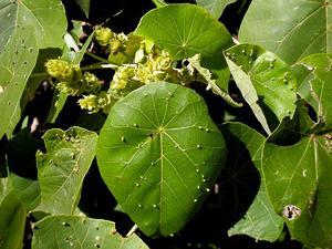 Parasol Leaf Tree