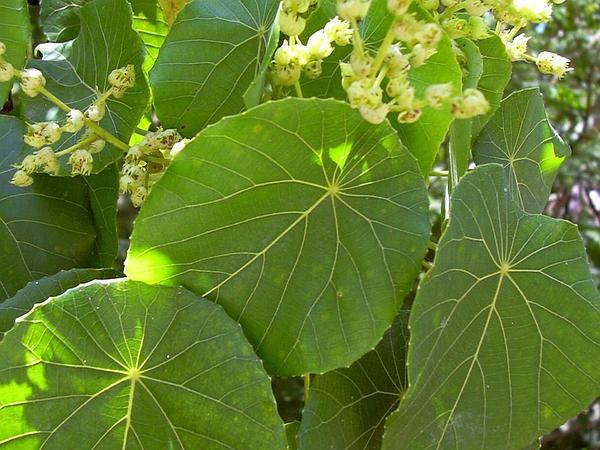 Parasol Leaf Tree (Macaranga Tanarius) https://www.sagebud.com/parasol-leaf-tree-macaranga-tanarius/