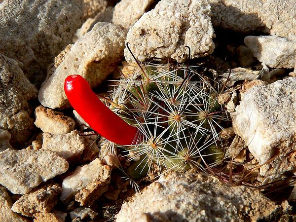 Common Fishhook Cactus (Mammillaria Tetrancistra) https://www.sagebud.com/common-fishhook-cactus-mammillaria-tetrancistra