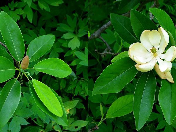 Sweetbay (Magnolia Virginiana) https://www.sagebud.com/sweetbay-magnolia-virginiana/