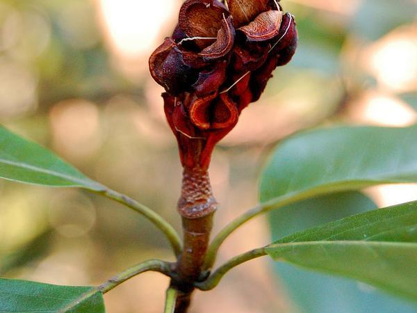 Sweetbay (Magnolia Virginiana) https://www.sagebud.com/sweetbay-magnolia-virginiana