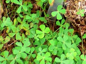 Villous Waterclover