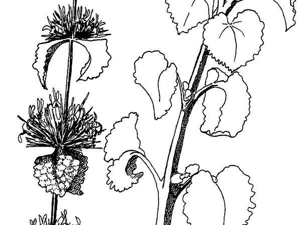 Horehound (Marrubium Vulgare) https://www.sagebud.com/horehound-marrubium-vulgare