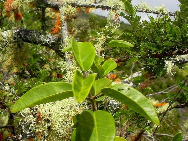 Auwahi Melicope (Melicope Adscendens) https://www.sagebud.com/auwahi-melicope-melicope-adscendens