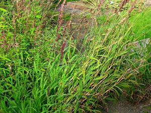Siberian Melicgrass