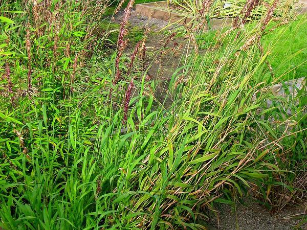 Siberian Melicgrass (Melica Altissima) https://www.sagebud.com/siberian-melicgrass-melica-altissima