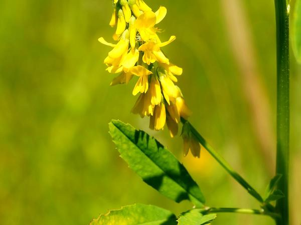Tall Yellow Sweetclover (Melilotus Altissimus) https://www.sagebud.com/tall-yellow-sweetclover-melilotus-altissimus