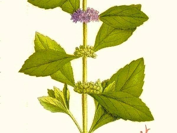 Wild Mint (Mentha Arvensis) https://www.sagebud.com/wild-mint-mentha-arvensis