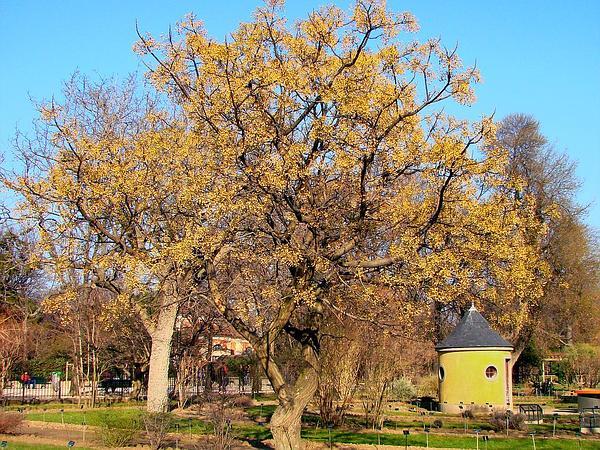 Chinaberrytree (Melia Azedarach) https://www.sagebud.com/chinaberrytree-melia-azedarach