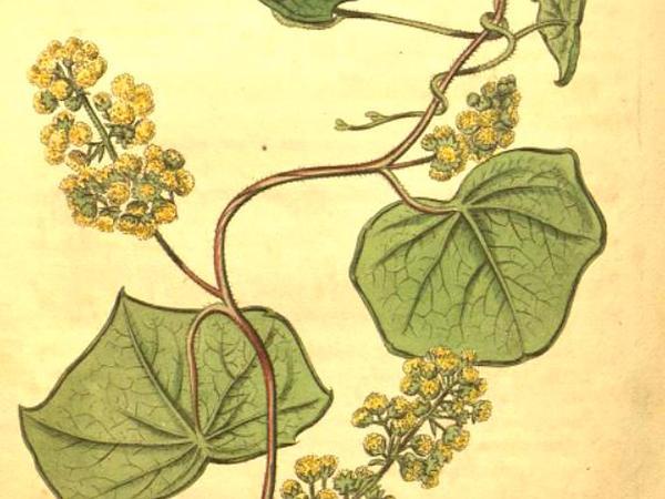 Common Moonseed (Menispermum Canadense) https://www.sagebud.com/common-moonseed-menispermum-canadense