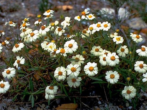 Hoary Blackfoot (Melampodium Cinereum) https://www.sagebud.com/hoary-blackfoot-melampodium-cinereum
