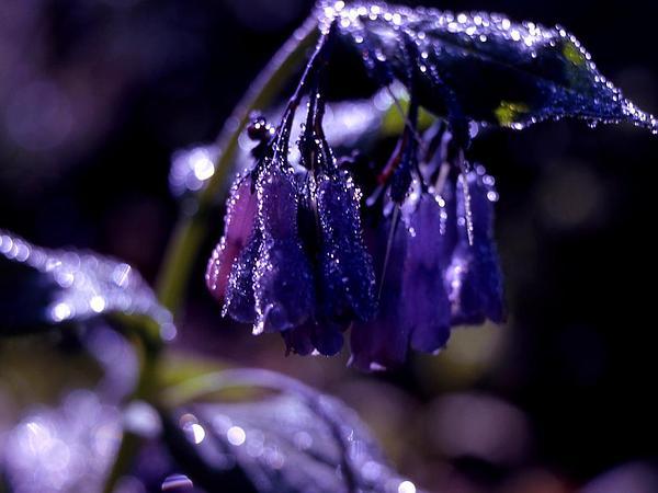 Tall Fringed Bluebells (Mertensia Ciliata) https://www.sagebud.com/tall-fringed-bluebells-mertensia-ciliata/