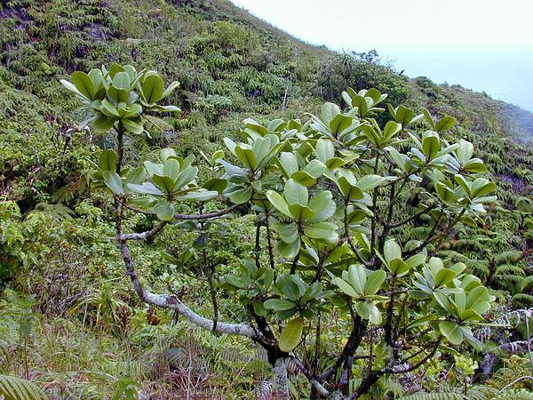 Kukaemoa (Melicope Clusiifolia) https://www.sagebud.com/kukaemoa-melicope-clusiifolia/