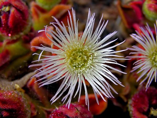 Common Iceplant (Mesembryanthemum Crystallinum) https://www.sagebud.com/common-iceplant-mesembryanthemum-crystallinum