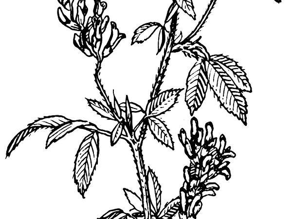 Alfalfa (Medicago) https://www.sagebud.com/alfalfa-medicago