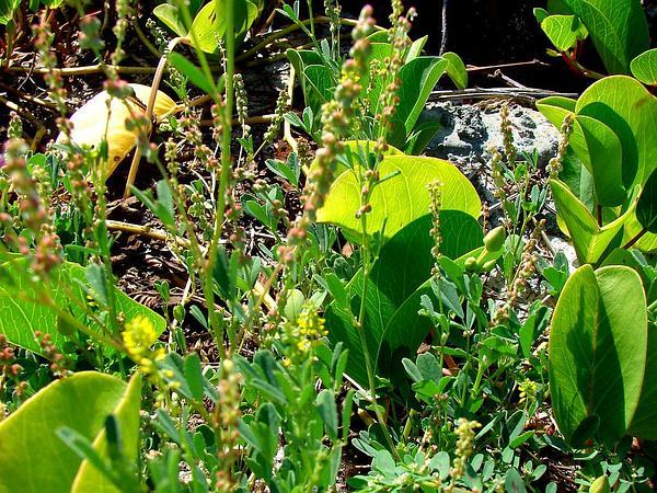 Annual Yellow Sweetclover (Melilotus Indicus) https://www.sagebud.com/annual-yellow-sweetclover-melilotus-indicus