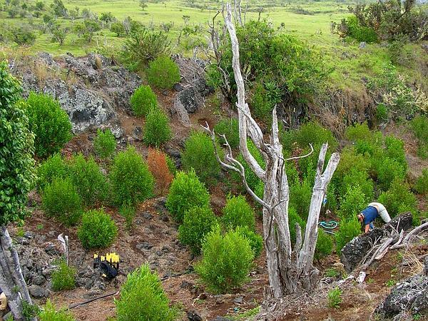 Olokele Valley Melicope (Melicope Knudsenii) https://www.sagebud.com/olokele-valley-melicope-melicope-knudsenii