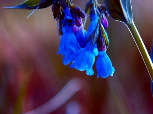 Prairie Bluebells (Mertensia Lanceolata) https://www.sagebud.com/prairie-bluebells-mertensia-lanceolata