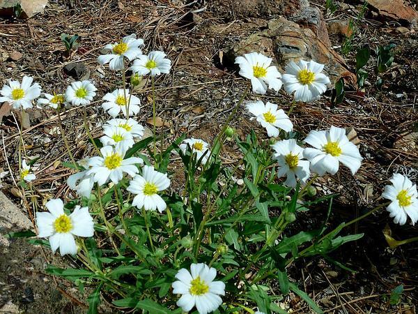 Plains Blackfoot (Melampodium Leucanthum) https://www.sagebud.com/plains-blackfoot-melampodium-leucanthum/