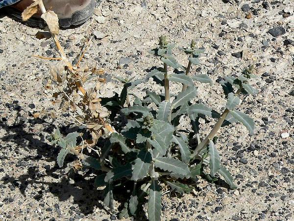 Ash Meadows Blazingstar (Mentzelia Leucophylla) https://www.sagebud.com/ash-meadows-blazingstar-mentzelia-leucophylla/