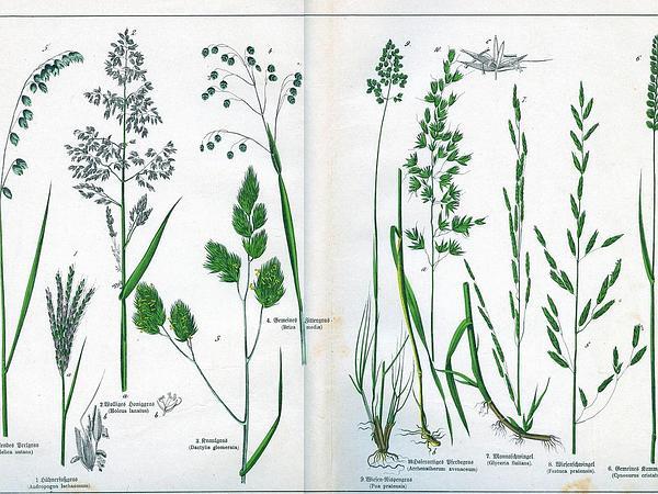 Melicgrass (Melica) https://www.sagebud.com/melicgrass-melica/