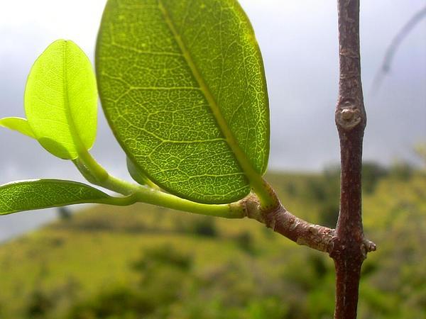 Melicope (Melicope) https://www.sagebud.com/melicope-melicope