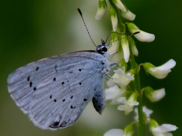 Sweetclover (Melilotus) https://www.sagebud.com/sweetclover-melilotus